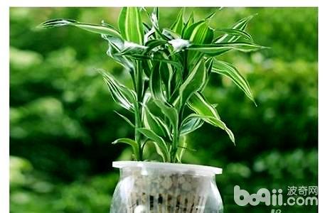 富贵竹的水养殖方法