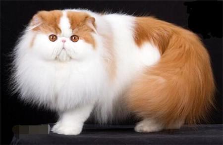 加菲猫和波斯猫哪个贵图片