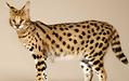 萨凡纳猫多少钱一只?萨凡纳猫价格