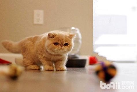 加菲猫和波斯猫图片图片