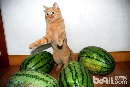 猫可以吃西瓜吗