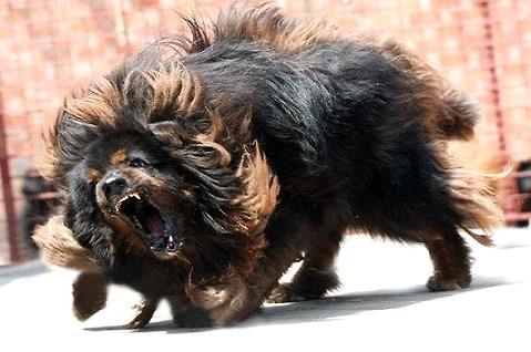 藏獒vs狼