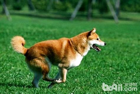 柴犬幼犬训练