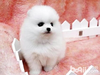 白色茶杯犬价格