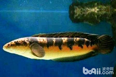 雷龙鱼吃什么