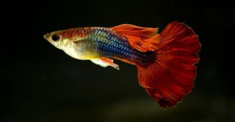 孔雀鱼烂尾原因与治疗
