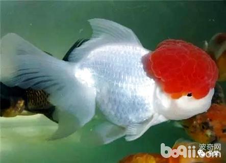 金鱼的饲养方法