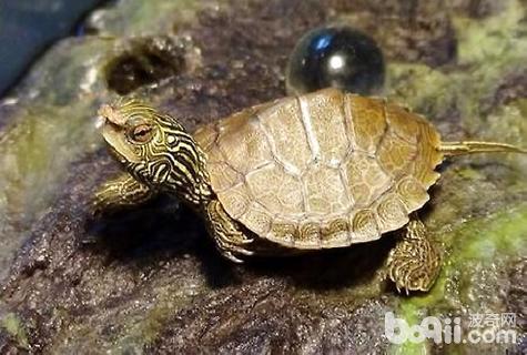 乌龟四肢无力怎么办