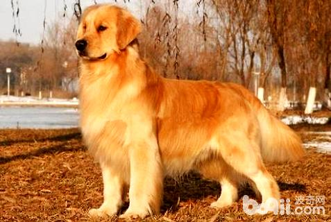 金毛犬名字