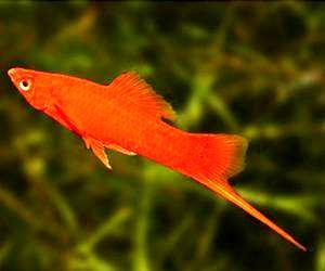 剑尾鱼好养吗