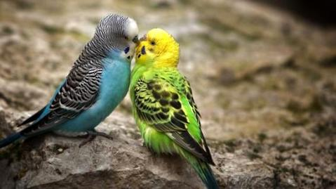 虎皮鹦鹉怎么分公母
