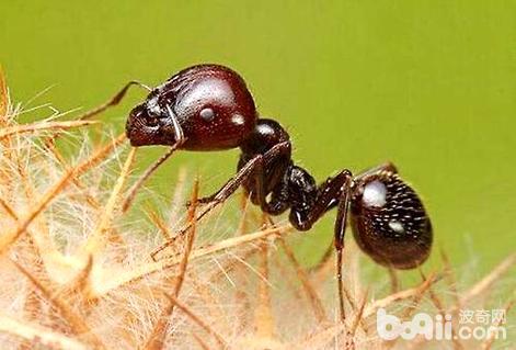 爆炸蚂蚁的爆炸过程