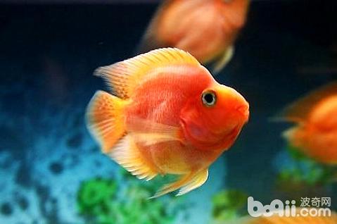 鹦鹉鱼怎么养