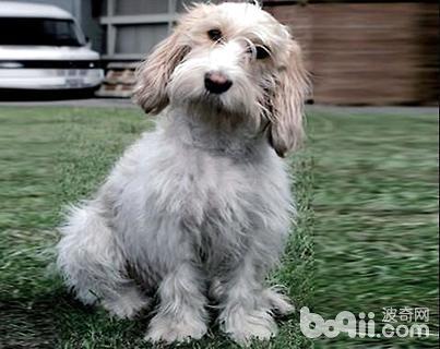 贝吉格芬凡丁犬