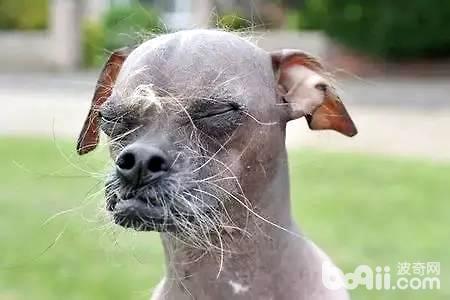 世界最丑狗狗