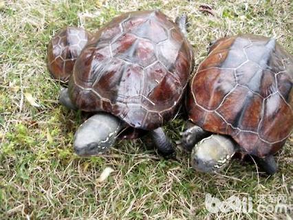 中华草龟能长多大