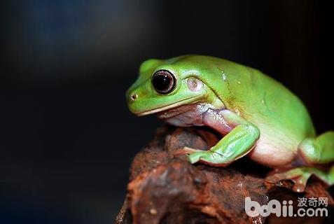 老爷树蛙怎么养