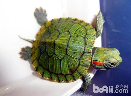巴西龟的的寿命