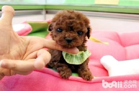 茶杯泰迪犬多少钱一只