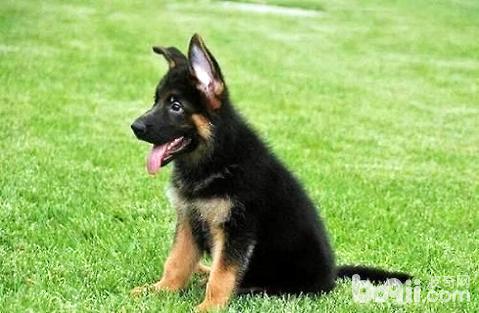 大型宠物狗品种大全
