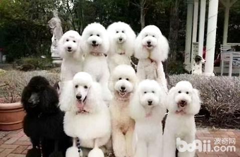 大型犬品种_大型宠物犬有哪些品种?大型宠物狗品种大全|狗狗品种-波奇网 ...