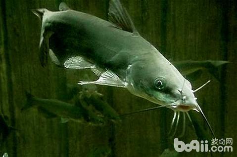 鲶鱼吃什么