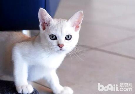 波米拉猫吃什么