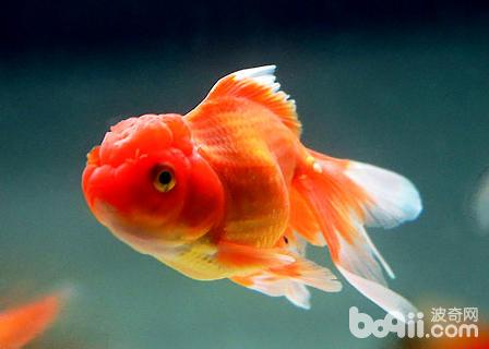 金鱼的卵什么颜色的才能孵化