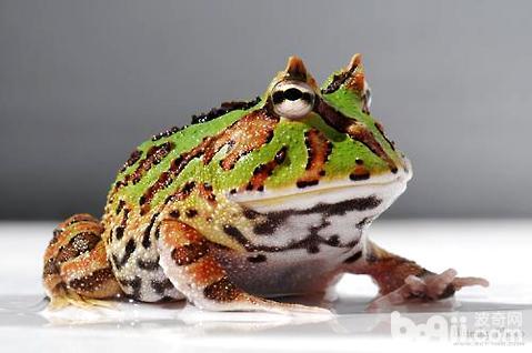 角蛙吃什么最好