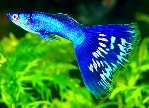 凤尾鱼的养殖方法