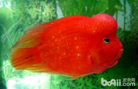 鹦鹉鱼和什么鱼能繁殖