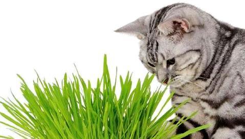 猫草是什么