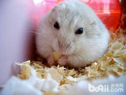 奶茶仓鼠怎么养