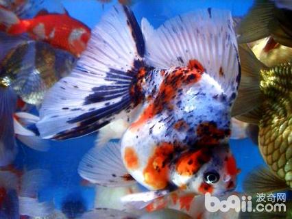 五花琉金鱼饲养方法