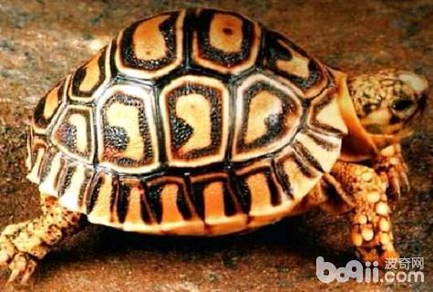 豹龟吃什么