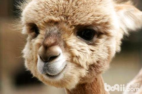 羊驼是什么