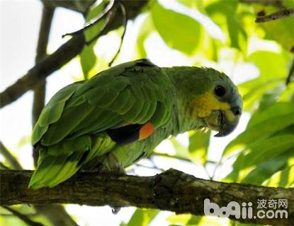 橙翅亚马逊鹦鹉怎么养