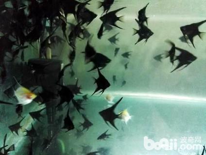 黑燕鱼怎么养