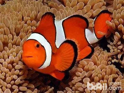 小丑魚好養嗎
