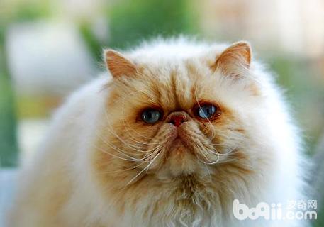 大脸猫有哪些品种
