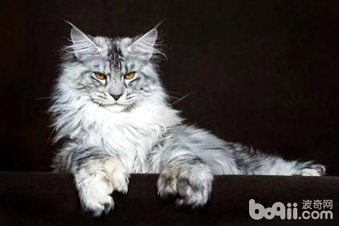 缅因猫为什么不能养