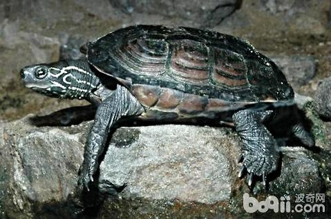 草龟怎么养