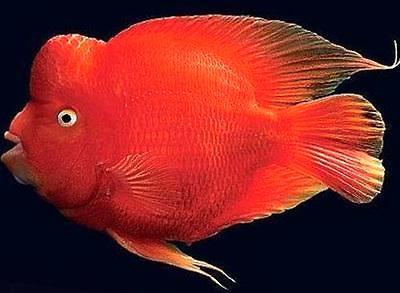 金刚鹦鹉鱼怎么养起头