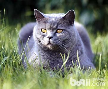 卡尔特猫怎么样