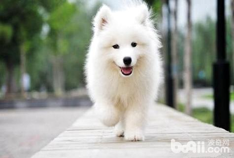 萨摩耶犬好养吗