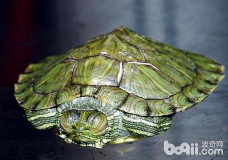 巴西龟怎么换水