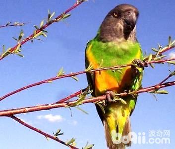 塞内加尔鹦鹉怎么养