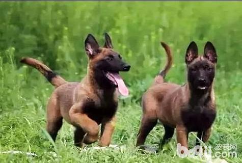 怎么训练马犬