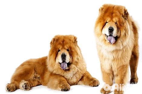 松狮为什么长这么胖?吃了什么?