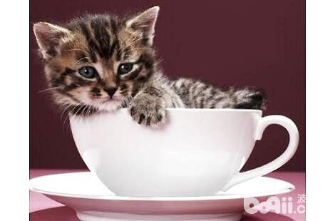 有没有茶杯猫这个品种?茶杯猫好养吗?